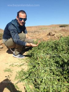 cosecha henna fresca